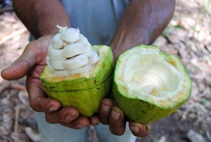 العلامة التجارية Cabosse Naturals مكونات فاكهة الكاكاو النقية 100٪